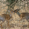 Sometimes Dik Diks are captured alive by lions to teach their cubs how to hunt.